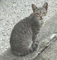 この猫ちゃんの種類はなんですか? 体が子猫の様に小さいのに妊娠→4匹出産した野良ちゃんです。 凄く小さいのにお母さんになったの?と家族みんなでビックリしてました、 ただ小さめの体なだけでしょうか? あと...