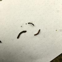 ワイヤープランツにいた小さな黒っぽいような茶色のような虫。 葉を食べては糞をしているようですが、名前がわかりません。一応ベニカXファインスプレーをしましたが、効き目があるのかどうか、、、。 虫の画像が...
