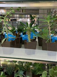 このトゲトゲの観葉植物の名前を教えてください。 100均です。