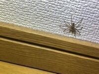 家に帰った時に見つけたのですが、この小さいクモはアシダカグモですか? 放っておいてもいいですか?