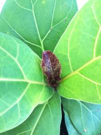 柏葉ゴムの木の新芽。 新芽は若々しい黄緑色で出てくるのですが最近、赤い斑点のような模様を付けた葉が生え始めました。 何が原因ですか? 病気ですか? この次に生えてきている葉は通常の黄緑入に戻っています。  少しまえに一回り大きい鉢に植え替えました。 ↑これが原因?  赤っぽいこの葉はどうすればいいですか?