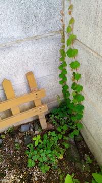 このブドウの葉に似た小さな葉をつける蔓性の植物の名前を教えて下さい。