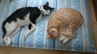 タビキナは猫カテゴリーにいりますか? タビキナとは、白黒ハチワレ猫に茶トラ の画像をよく載せているのが特徴です。