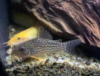 コリドラス(ステルバイ)は金魚ヒーター(18℃)でも越冬可能ですか?