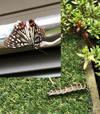 蝶?蛾? 8日前、我が家の庭に敷いた人工芝の上にカラフルで比較的大きめな幼虫が這っていて誤って踏んづけてしまいそうになりギョっとしたところだったのですが、 本日、同じく庭の物干し竿 に、蝶なのか蛾な...