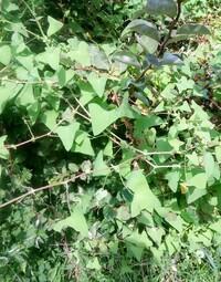 この葉が三角の茎にトゲがある雑草の名前を教えて下さい。