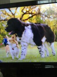 映画「僕のワンダフルライフ」に出てくる、ベイリーがウェルシュコーギーに転生した時に恋をした犬 ロキシー?ロクシー?の犬種は何ですか??