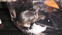 このネズミ種類何ですか?生け捕りにして薬用石鹸ミューズで洗浄してみました。