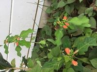庭に咲いていた植物の写真です。 中央が赤いこの植物の名前をご存知の方いらっしゃいましたら回答よろしくお願いします。