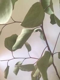 水切れの際の灌水の頻度を教えてください。  育てていた鉢植えのユーカリが水切れしてしまいました。 葉っぱは全部パリパリです。ちょっと丸まっている感じです。 下の葉を3分の1切りましたが、すべて写真の...