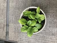 鉢植えのガーベラについて質問です。 マンション6階の南西向きのベランダで育てています。 何回か花を咲かせましたが、最近は写真のように 小さい葉っぱがどんどん増えるばかりです。 日照 不足かと色々場所を変えてみたりしているのですが… また、以前は葉っぱはもっと大きくなりましたが、 最近は小さいままです。 鉢は直径11センチで、土の水ハケは良いと思います。(水をやるとすぐ下から出で...
