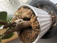 ガジュマルの根っこが鉢底から出てきました。 植え替えた方がいいですかね、、