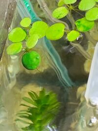 メダカの水槽の中にある水草に緑のプルプルしたのが増えてきたんですがこれって何ですか??コケ?藻? 軽く撫でれば落ちますが魚に害はないでしょうか?