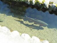 この魚はなんて名前の魚ですか? 白川郷にて。  北陸旅行に行ってきたのですが、白川郷へも行きました。 合掌造りの家々やそびえる山々がとても美しかったです!  ですが、用水路にこのような魚が泳いでました、なかなかに大きかったです。 これは何て名前の魚でしょうか? 名前や特徴をぜひ教えてほしいです。 鯉とはすこしちがうような…。  魚に詳しい方など、ぜひ教えてください。