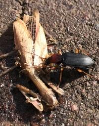 カマキリを喰らうこの虫の名前を教えて下さい。