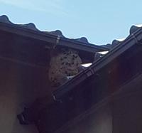 この巣はアシナガバチかスズメバチか、どちらでしょうか。  このあたりはアシナガバチが多い地域なのですが……  よろしくお願いいたします。