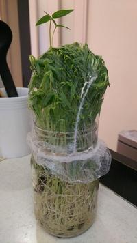 もやしの栽培について。息子が園でもやしの栽培をしました。 ジャム等の瓶に種を撒き、暗室にて1週間くらい育てたようで、持ち帰ってきてから3日経ちます。 1日3回水で洗ってましたが、昨日か ら緑の葉っぱがニョキニョキしてきて、網を突き破って出てしまいました。 もやしにしてはまだ細いような気がするし、緑の葉が出た時点で失敗なのでしょうか? ネットで調べると1週間ほどで栽培とありますが、これ...
