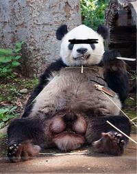 なんか招き狸っぽいですがタヌキとパンダって同種なのですか?