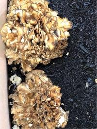 舞茸がやっと出てきました。昨年栽培キットを埋めておいたものですが、プランターに鹿沼土を敷いてキットを据えて腐葉土を被せておいたものです。 傘の縁が黒くなっており、傘が小ぶりに感じる のですが、縁の部分が腐っているのか腐葉土が黒いのでその色が出てきているのか、食べられるのかどうか心配です。また、もう少し大きくなるまで放置した方が良いのかわかりません。どなたかお分かりになる方がいらしたら教えて...