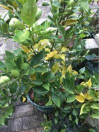 鉢植えでスダチを育ててます。 夏くらいから新芽がクルッとして葉が伸びません。 そして今、葉が黄色くなってきました。 なんかの病気でしょうか? それとも栄養不足でしょうか?