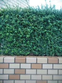 植物の名前に関する質問です。 よく塀の変わりに植えられている 画像の植物の名前を教えて下さい。 宜しくお願い致します。