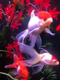 お願いします。 金魚の尻尾に神経は通っているのでしょうか?