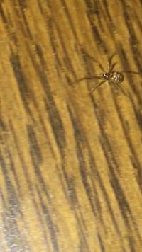 家に出た蜘蛛の名称を教えてください。検索して調べても中々それらしい種類のものが見つからなかったもので...。画像の蜘蛛です。ご存知の方教えていただけたら幸いです。