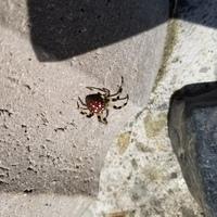 帰省の時見つけたこの蜘蛛の名前分かる人いますか? 場所は北海道の道東で家族はコガネグモだのセアカゴケグモだのジョロウグモだの言っててよくわからんでした