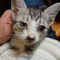 こちらの猫は何の病気が考えられますか? 飼い主は猫を多数飼っていて避妊もしておらずどんどん増えているようです。