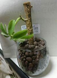 観葉植物シェフレラ(カポック)についての質問です。  1か月前に100円ショップで購入し、 ハイドロに植え替えて育てています。 植え替えた当初から少し元気が無かったのですが、 今日ついに写真の様な状態に...