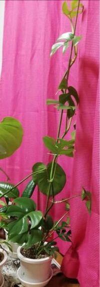 観葉植物育ててる方教えて下さい ヒメモンステラ です  この植木鉢小さいですか? 縦13センチ、横13センチでした 苗は床下から115センチです  鉢植えかえるとしたら、次はどれくらいのに変えたらいいですか?