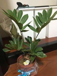 観葉植物に詳しい方 プレゼントで頂いたのですが何の植物か分かりますか?