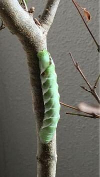 この幼虫は蝶々の幼虫?蛾の幼虫? 蝶々なら何蝶? 分かったら教えてください。