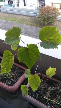 ベランダのプランターから生えてきたのですが、何ですか?葡萄っぽいのですがただの雑草でしょうか?詳しい方よろしくお願いします。