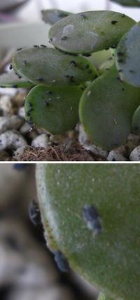 多肉植物の害虫について教えてください。 先日、育てている多肉植物に黒いゴマのようなものが付着していることに気づきました。 特に 子持ち蓮華 に多くついていたのですが、よく見ると小さな虫でした。 (写真が見にくくて申し訳ありません)  葉に食害のような跡はなく、虫の付いていない 子持ち蓮華 と比べて際立って弱っている様子は無いのですが、できれば駆除したいと思っています。  そこで教...
