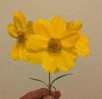 この細い葉を持つ黄色い花の名前を教えて下さい。 一度キンケイギクという回答を頂きBA認定させていただいたのですが画像検索してみると花弁の縁がこれと同じものが見つかりませんでした。コレ オプシス全体を見...