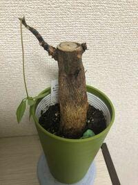 パキラの葉が無くなってしまいました。 枯れてしまったのでしょうか…  復活方法はありますか?