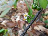 なんの植物?11月現在花と実をつけています  庭木のジュンベリーの根元から画像のような植物が生えていました なんという植物かわかるかたおられますか? 花は白でイチゴの花に似てるような … 実は写真では...