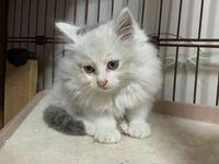 子猫ちゃんを拾いました。 この子猫の種類はなにかわかる人いますか??  教えて欲しいです。
