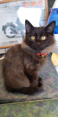 野良猫から産まれた、この子の里親になりました。病院に行ったら長毛の洋猫が入ってると言われました。兄弟は長毛は居なくて、黒とキジトラと茶色の子がいます。 なんの種類が入っているかわかりますか?