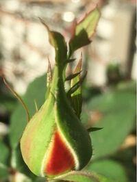 今でも咲きそうなバラは四季咲きバラと特定できますか?
