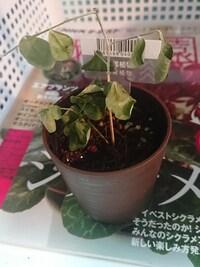 ダイソーで手に入れたこの萎れた観葉植物の名前を教えてください。  まだギリギリ復活可能かと思い購入しましたがどうなるか…