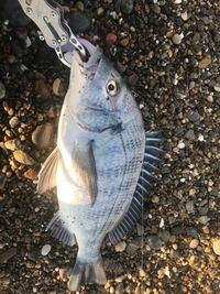この魚はキビレか黒鯛どっちですかね?