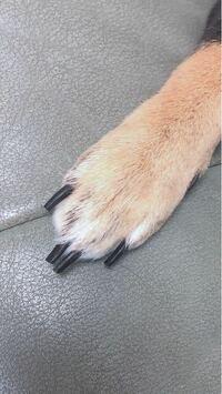犬の爪切りについてなのですが、切りすぎて出血してしまうのが怖くて少ししか切れません。写真の爪は長いですか?もう少し切れますか?