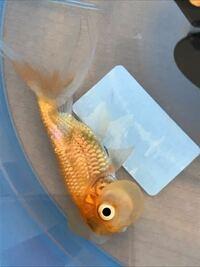 水泡眼 金魚の転覆について 昨日まで泳いでた水泡眼の金魚が転覆して 沈んだまま、横になって元気がなくなって しまいました。。  すぐ別バケツに入れて水換えをして ヒーターを入れて温めているのですが 原因として何が考えられるか、 対処方法があれば教えてほしいです  情報としては ・1匹飼い(10リットルの水槽) ・ヒーターとフィルターを入れている ・水換えは2週間に1度程度 ・去年の9月から飼...