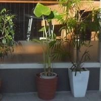 観葉植物にお詳しい方へお伺いをいたします。 ・ 真ん中の芋系の観葉植物の名称を教えていただければと思います。