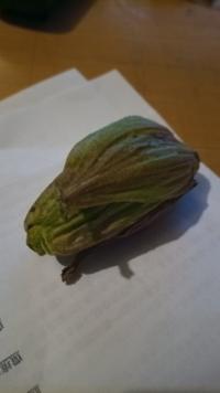 一個だけ見つけた蕗の薹です。 どうやって食べたら良いと思いますか? どうせこれから嫌って言うほど出るんですけど、まずは初物ですから。    暖冬ですね。2週間は早い感じです。