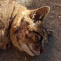 エサを求めて遊びにくる猫がいます。 最初は飼い猫かと思っていましたが、野良猫の可能性が出てきたため、エサを買い、来たときはあげるようになりました。  食べたらすぐどこかへ行ってしま うときもあります...