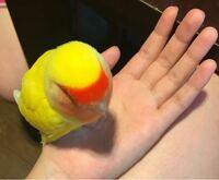 私はコザクラインコを4羽飼っています もう飼い始めて8年経つのですが、あの可愛さはなんなんでしょう。本当に可愛くておばかで大好きです  みなさまご自慢の愛鳥を見せて頂けませんか?