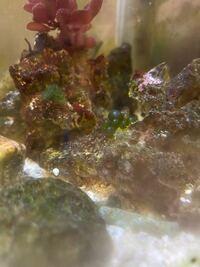 海水魚飼ってるんですけど、ライブロックに緑色のぷにぷにが生えてきました。 これが何かわかる方いらっしゃいましたら教えてください。